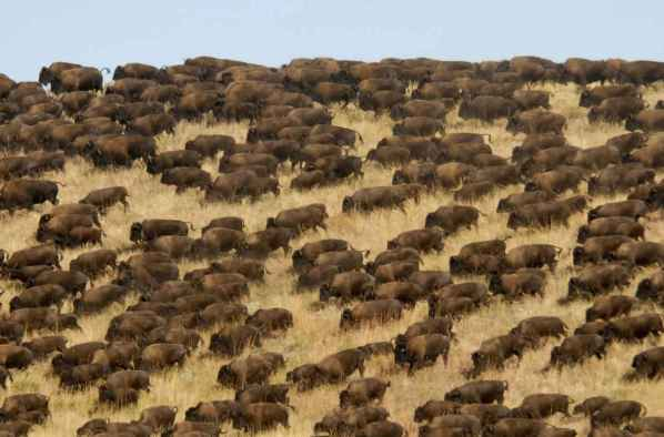 buffalo-on-Southwestern-plains